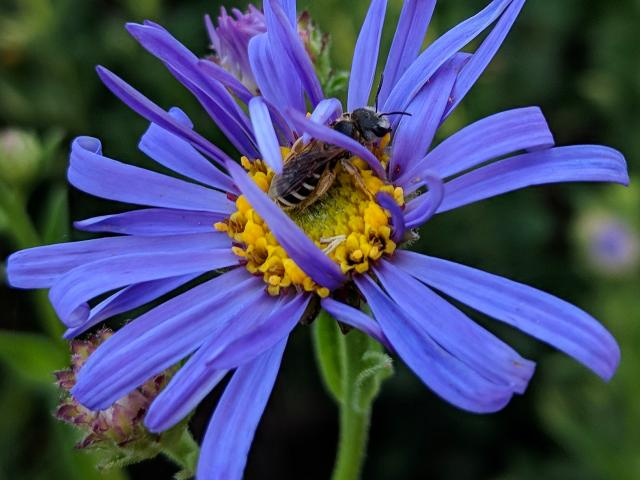 Image of a native bee on an aster.